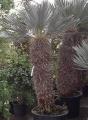 Trithrinax campestris 2.5m Rendelésre