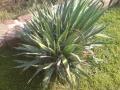 Yucca filamentosa - 60-70 cm