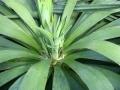 Yucca recurvifolia - 40 cm