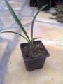 Yucca aloifolia x stricta x baccata hybrid