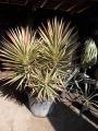 Yucca aloifolia marginata tricolor