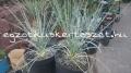 Yucca angustissima 50cm