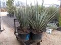 Yucca arizonica 1.2m