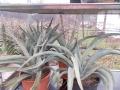 Yucca baccata 40-50cm.