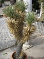 Yucca brevifolia var. jaegeriana