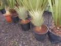 Yucca brevifolia 60-70cm