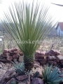 Yucca constricta