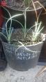 Yucca elata NM