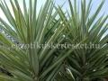 Yucca elepantipes