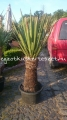 Yucca faxoniana 170