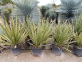 Yucca faxoniana 130-150cm