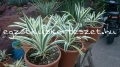 Yucca filamantosa
