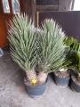 Yucca filifera dupla.