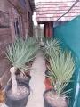 Yucca gloriosa 0.7-1.1m akciós!