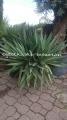 Yucca gloriosa