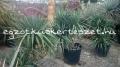 Yucca gloriosa idős csoportok