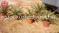 Yucca gloriosa variegata 70-80cm