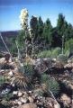 Yucca nana