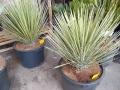 Yucca hybrid...