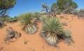Yucca kanabensis