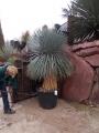 Yucca linearifolia 180cm