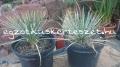 Yucca nana 25cm