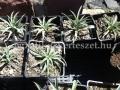 Yucca nana  1