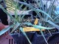 Yucca pallida x filamentosa hybrid