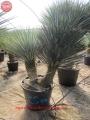 Yucca rigida filifera mix 50