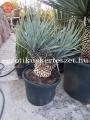 Yucca rigida x baccata hybrid