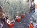 Yucca rostrata ..