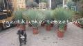 Yucca rostrata 1.2-1.5m