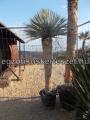 Yucca rostrata 2m