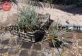 Yucca rostrata 30- 40cm