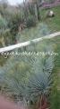 Yucca rostrata 60-80cm