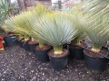 Yucca rostrata 80-90cm