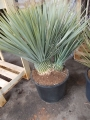 Yucca rostrata dupla 70-80cm