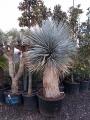 Yucca rostrata extra 2.5m