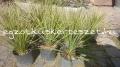 Yucca rostrata green