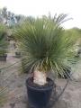 Yucca rostrata green multihead..