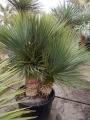 Yucca rostrata green multihead 2 törzs