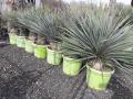 Yucca rostrata nagy fejű
