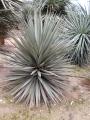 Yucca schotti .