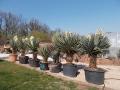 Yucca scotti multihead 2.2-2.4m
