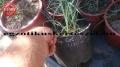 Yucca sp. Colorado