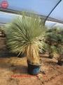 Yucca  rostrata 39