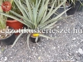 Yucca treculeana hybrid.